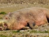 Извънредно: 4 диви прасета с Африканска чума в област Добрич!